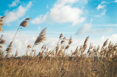 風になびくすすき